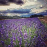 Post 8 Image - Lavender.jpg